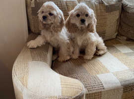 We have four beautiful American cocker spaniel females for sale