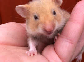 Baby Syrian hamsters ready for homes