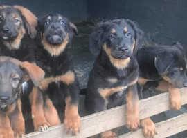 Caucasian Shepherd/Chinese Red Dog