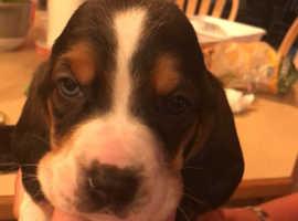 Beautiful Basset Hound Puppies