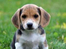 Looking for a Jack a bee puppy/ young dog (jack russell beagle cross)