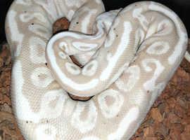 Banana pastel royal python