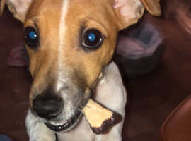 Male jack Russell 7 months old