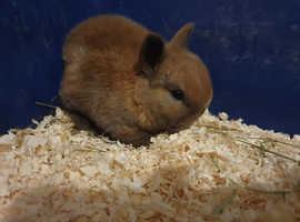 Baby rabbits,  Netherland Dwarf