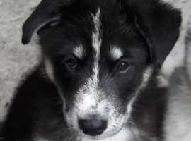 Samoyed cross Siberian Husky puppies for sale