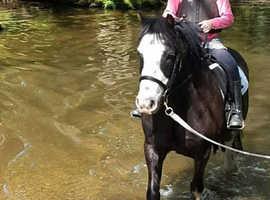 Shadow, 12.2hh gelding is looking for sharers in Arborfield - Berkshire
