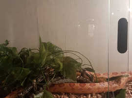 Corn snake for sale.