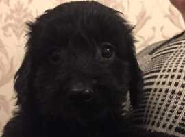 F1 pra clear cockapoo puppies for sale