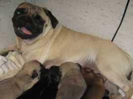 Activate your happiness, Health tested Pugs