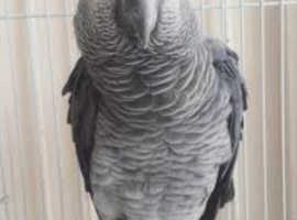 African grey parrot male