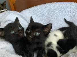 Four Semi-long Haired Kittens, 3 Girls And 1 Boy