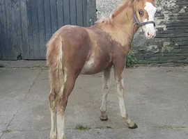 Section D x colt Foal to make 14.2-15.2hh