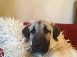 Anatolian Shepard Turkish Kangal 5 month old puppy