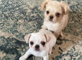 3/4 pug 1/4 shih-tzu puppies