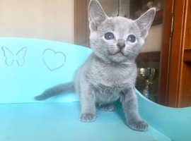 !!STAR-PLUS Russian Blue Kittens EURO Pedigree