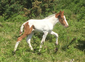 American Paint / Cob X Filly