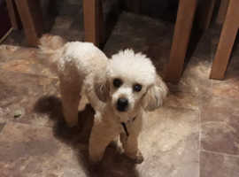 Handsome Apricot Toy Poodle Available for stud