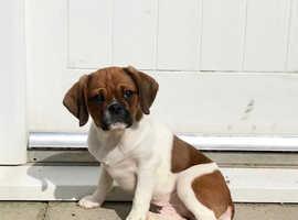 Cavalier x pugalier male puppy