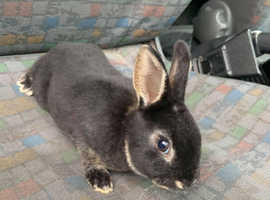 Mini Rex litter ready to be reserved