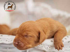 7 adorable Hungarian Vizsla puppies want to find their devoted caring owners.