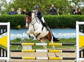 16hh AES Wamblood x mare