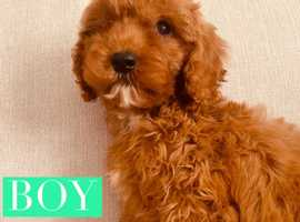 Fox Red Cavapoo puppies