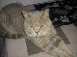 HANDSOME CH LINE BRED BSH LILAC TABBY BOY STUD ONLY (not for sale )