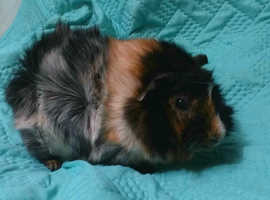 Male show abyssinian guinea pig and cage for sale