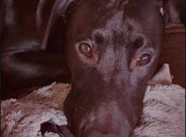 Grey hound xs staff