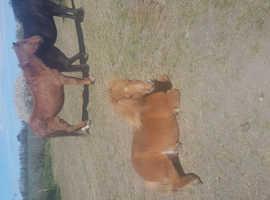 Shetland pony for sale