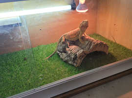 Bearded dragon for sale she is a 1 year old female
