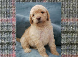 Exquisite Newfypoo Puppies Available