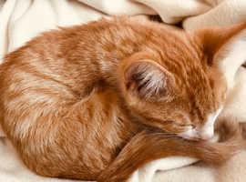 Gorgeous ginger kitten