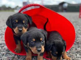 Beautiful KC Rottweilers