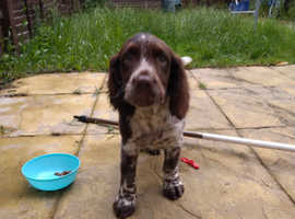 11 weeks old little boy pure English springer spaniel puppy for sale