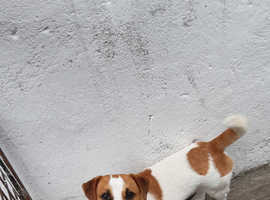 Jack russell STUD available