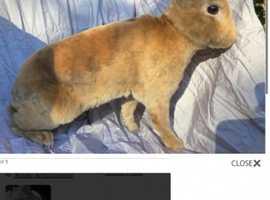 Two mini Rex bucks under 2 yrs old