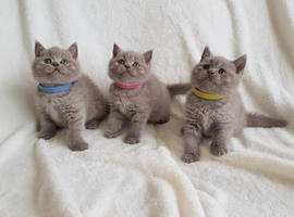 Lilac British Shorthair Kittens available