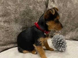 YORKSHIRE TERRIER GIRL - CHERRY
