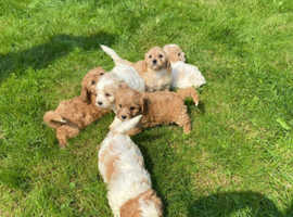 Cavachon puppy's