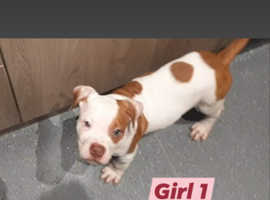 Bulldog puppies for sale  * ONLY 5 GIRLS