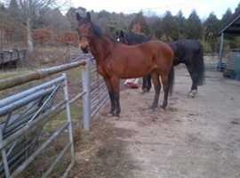 16h Bay Mare sports horse looking For a good home ,£500  Some Tack and Rugs