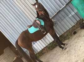 16.2 thoroughbred mare OPEN TO OFFERS