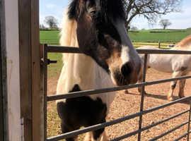 Stunning blue eyes cob mare