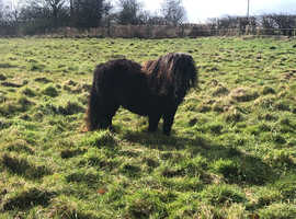Registered Miniature Shetland Mare for showing or companion