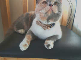 Birman x Persian Kittens