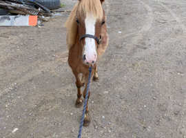Adorable shetland cross section a filly
