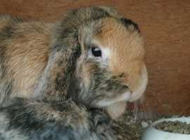 Gorgeous Mini Lop Rabbits