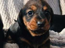 Dachshund cross Norfolk terrier puppies