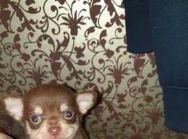 Tiny smooth coat chihuahua puppies